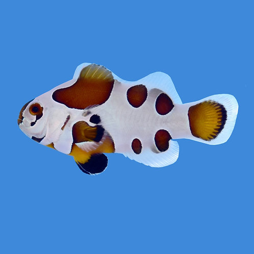 Mocha Storm Clownfish pair