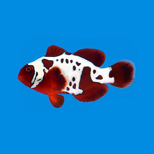 Lightning Maroon Clownfish Pair
