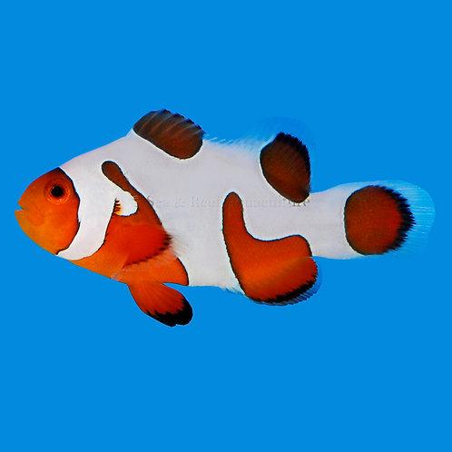 Davinci Extreme Clownfish Pair