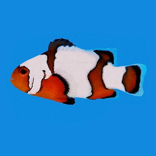 Premium Snowflake Clownfish Pair