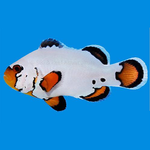 Flurry Clownfish Pair