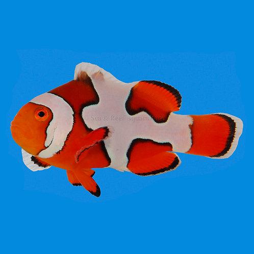 Picasso B grade Clownfish