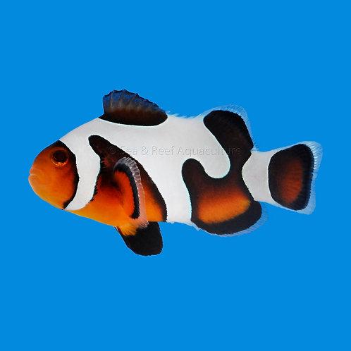 MochaVinci Extreme Clownfish Pair
