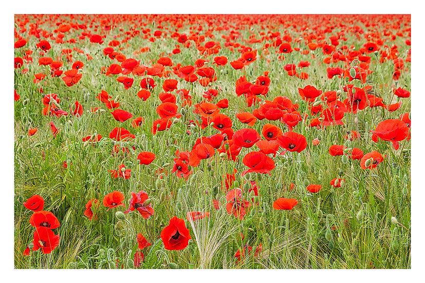 'Poppy Field' - Fine Art Print