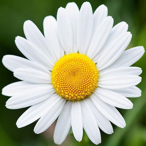 Daisy (5341) 1000x1000px insta.jpg