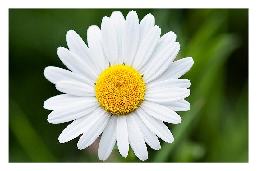 'Daisy' - Fine Art Print