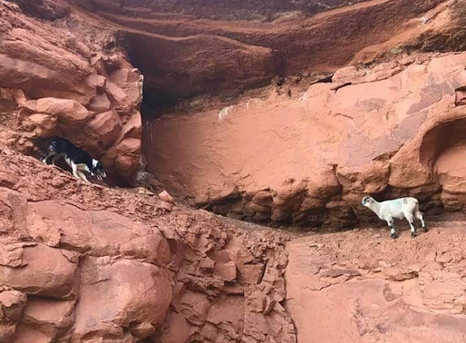 Taking the term working Border Collie to a new level - literally!
