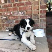 GCRBC Puppy