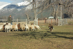 Rhett Herding Sheep