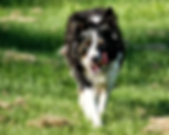 Border Collie Ranch dogs for sale by Gold Creek Ranch