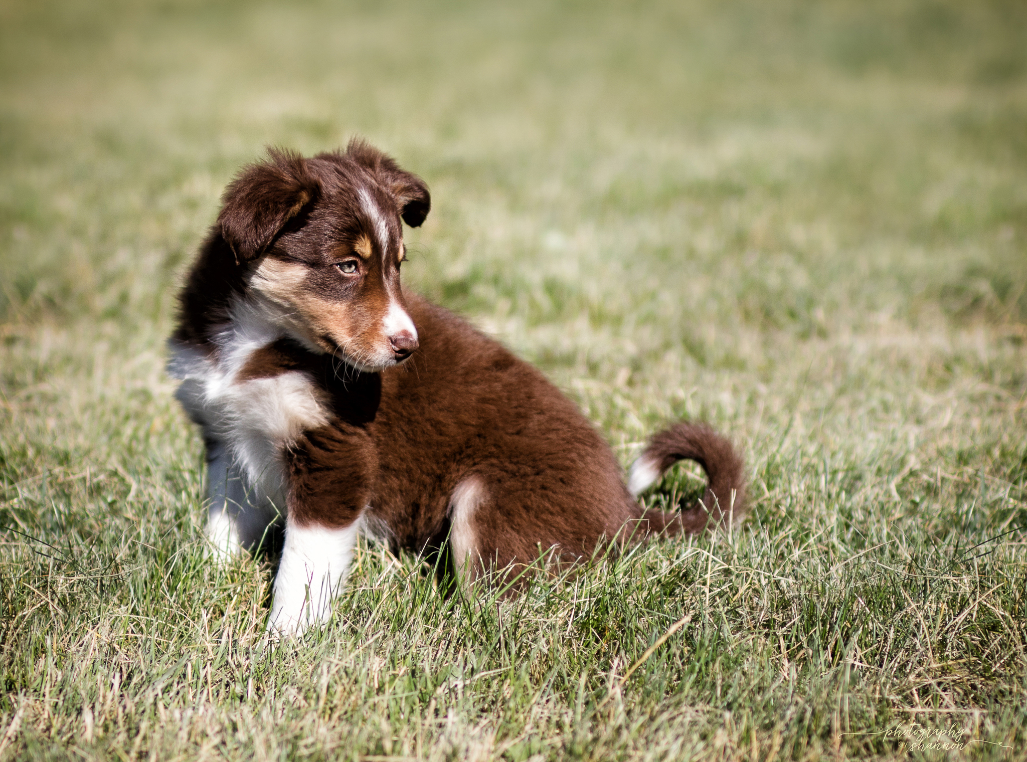 Border Collie Dogs & Puppies for Sale - Montana | Gold Creek