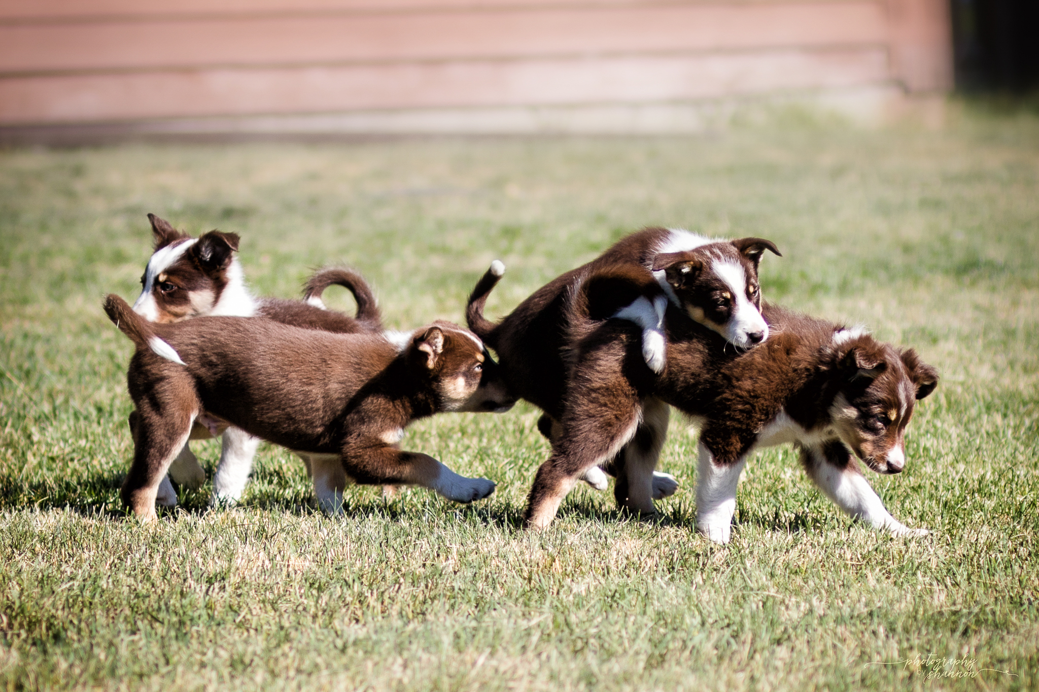 Border Collie Dogs Puppies For Sale Montana Gold Creek Ranch