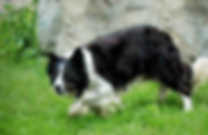Herding Border Collie Dogs for sale in Montana