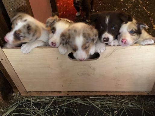 Puppies or Piggies?