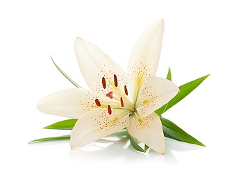 White Lilly.png