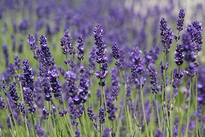 lavender picture.jpg
