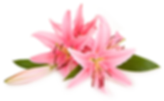 Pink Lilly.png
