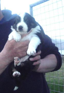 Tweedhope Fae as a pup