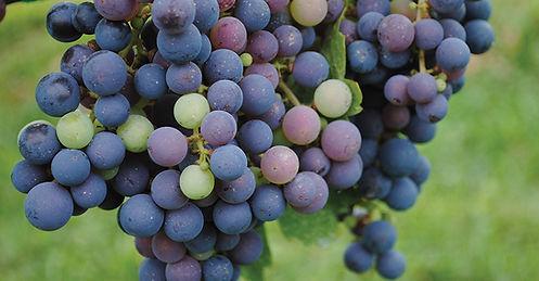Millbrook-grape-bunch.jpg