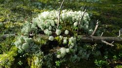 Karelsky forest moss