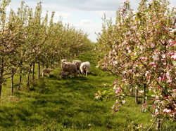 sheep in blossom small