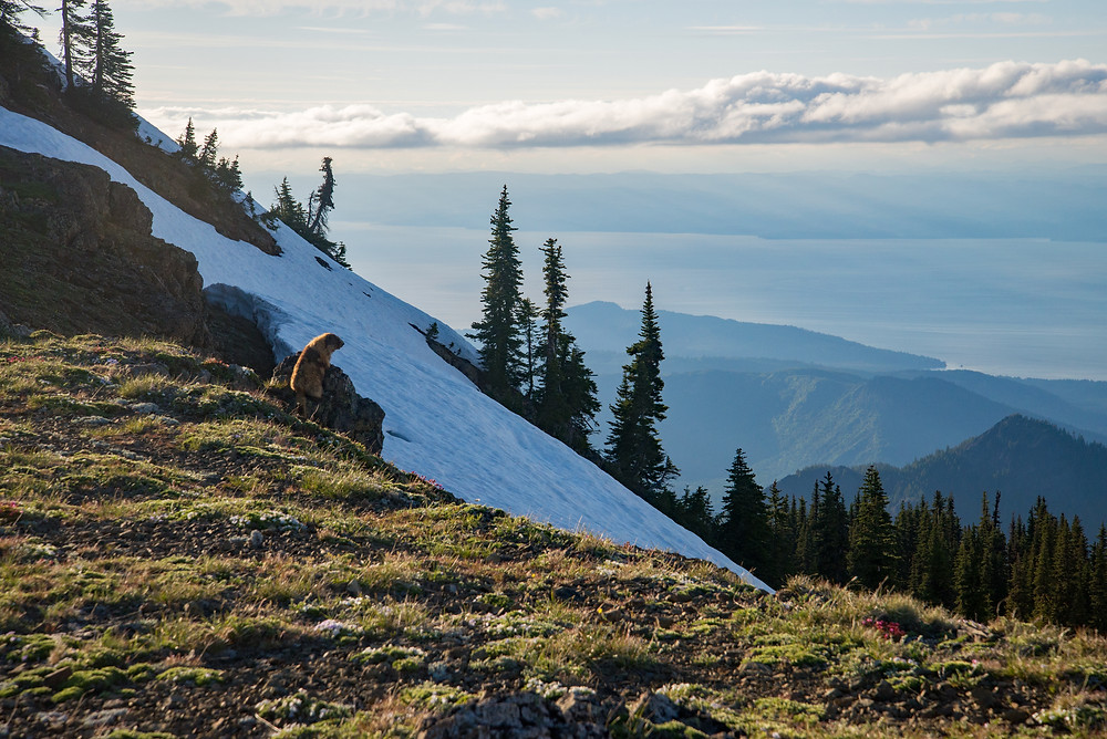Olympic marmot with a view of the Juan de Fuca Strait in Olympic National Park in Washington.