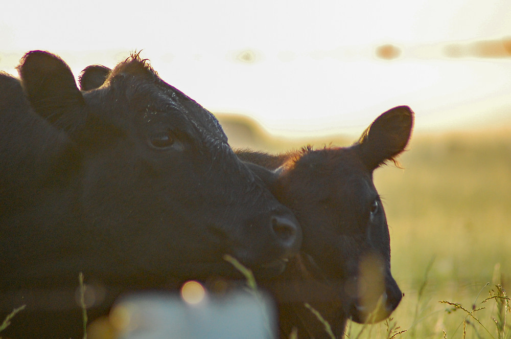 A cow and her calf in Kansas.