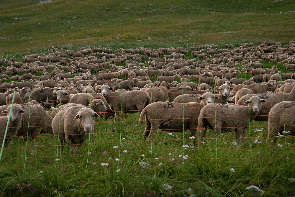 A herd of sheep in the Alps of France.