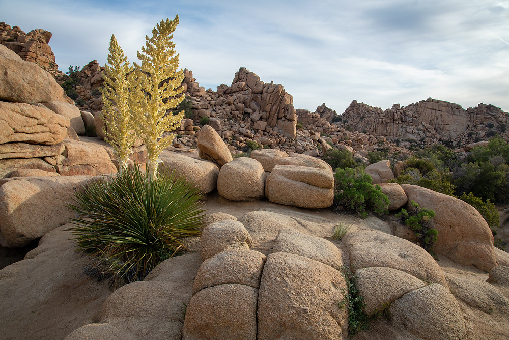 Yucca bloom in Joshua Tree National Park, California.