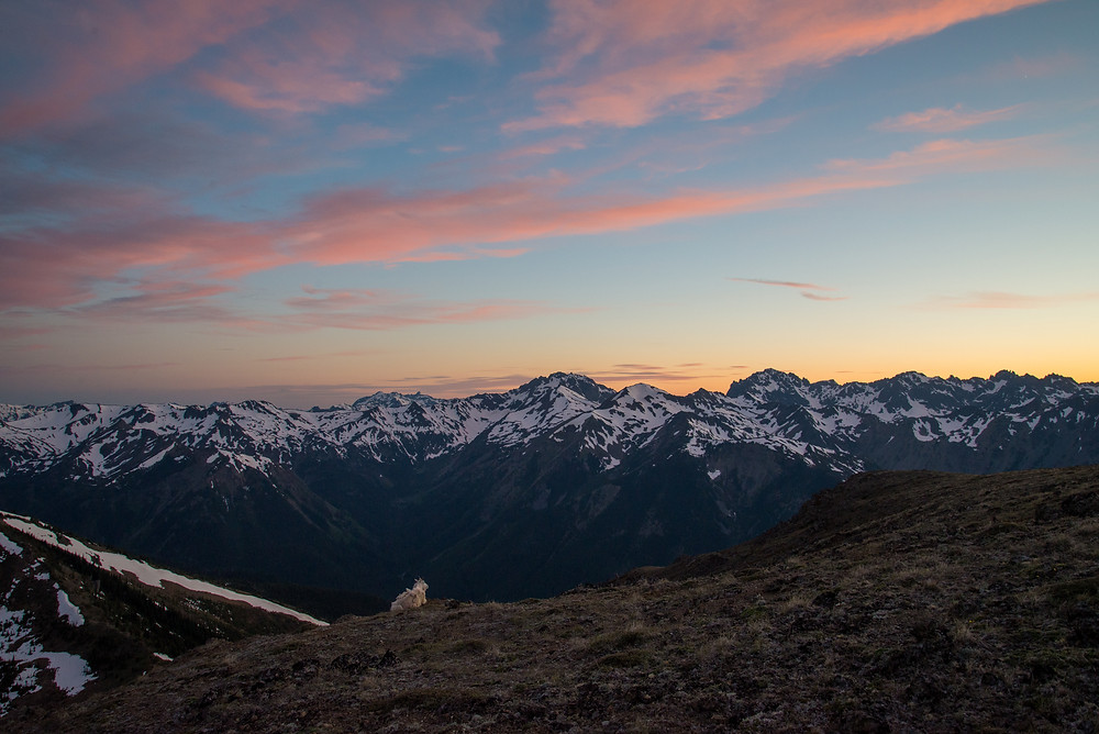 A mountain goat enjoys a colorful sunset in the Olympic Mountains in Washington.