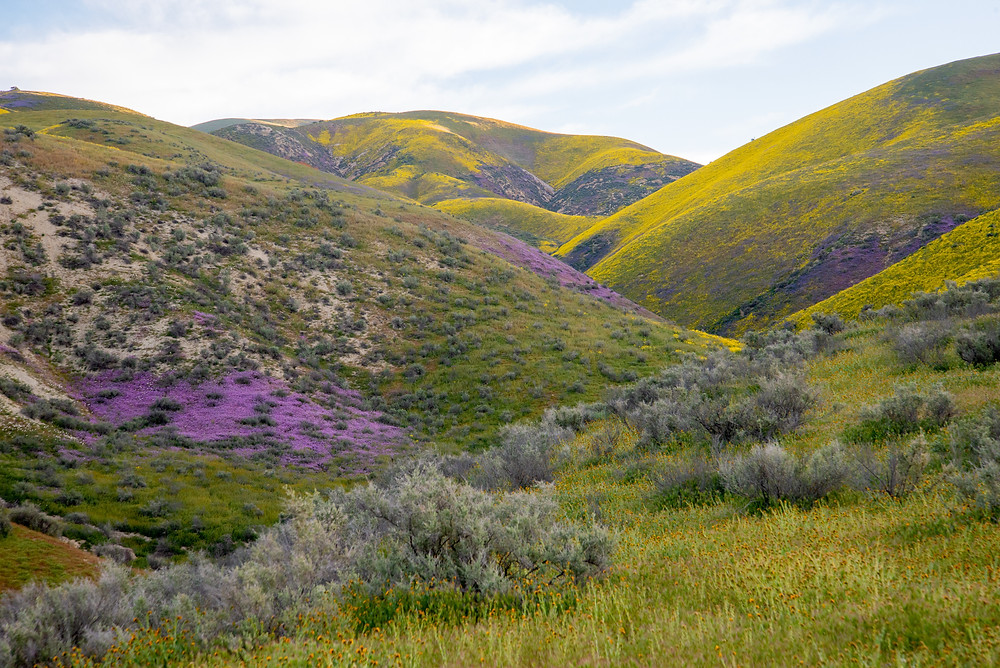 Wildflowers bloom during a superbloom in Carrizo Plain National Monument in California.