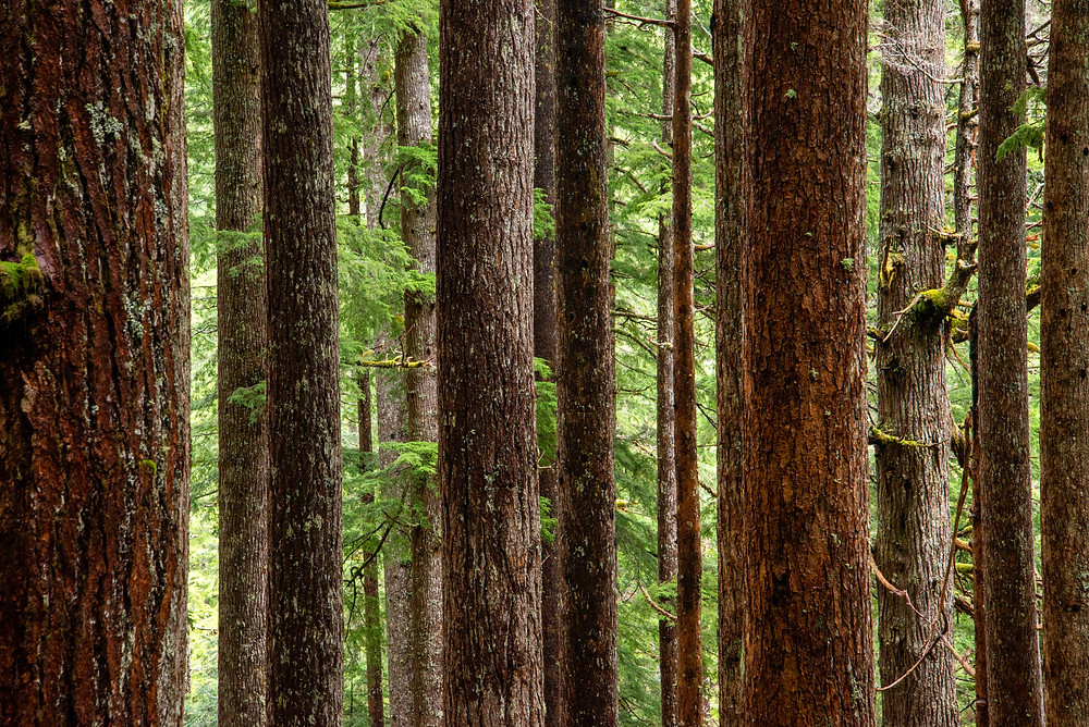 Old growth forest in Olympic National Park in Washington.