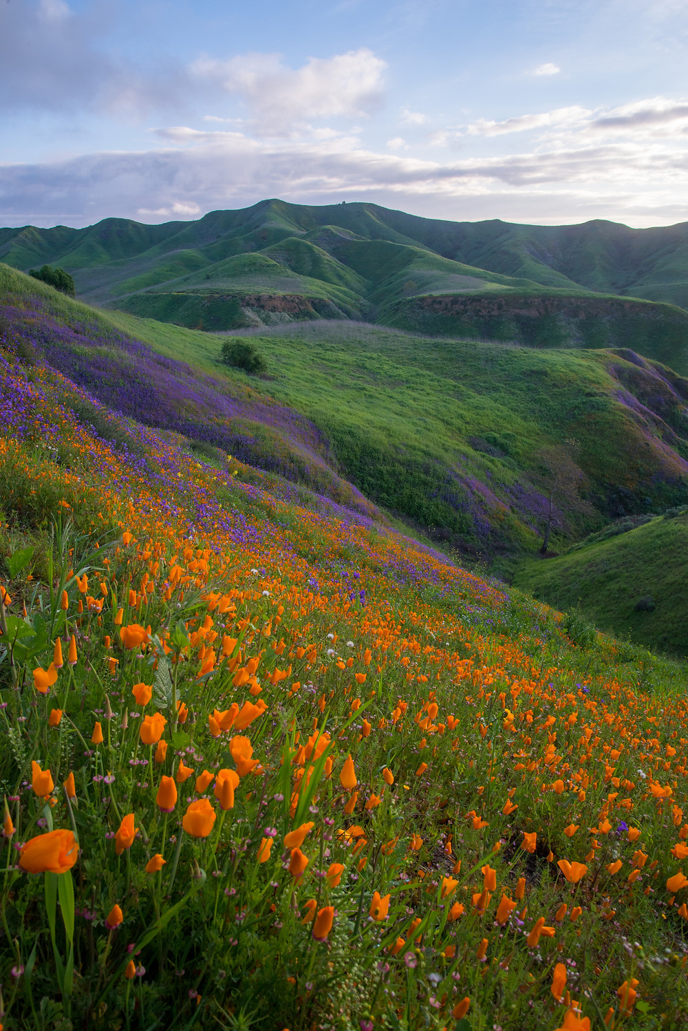 Poppies bloom during a rare spring superbloom in the coastal hills near Chino Hills, CA.