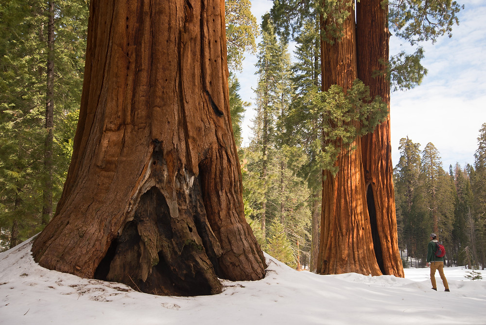 A hiker in the Giant Forest in Sequoia National Park in California.