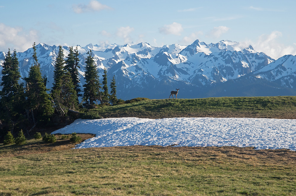A deer poses under the Olympic Mountains in Olympic National Park in Washington.