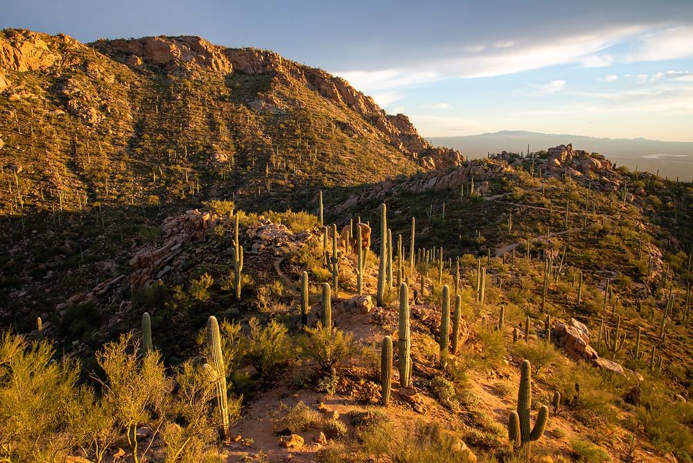 Hiker in desert in Saguaro National Park in Arizona.