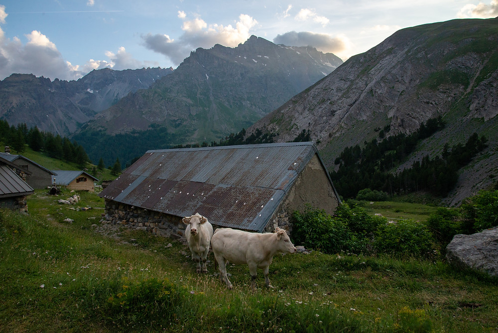 Cows on a farm in the Alps of France.