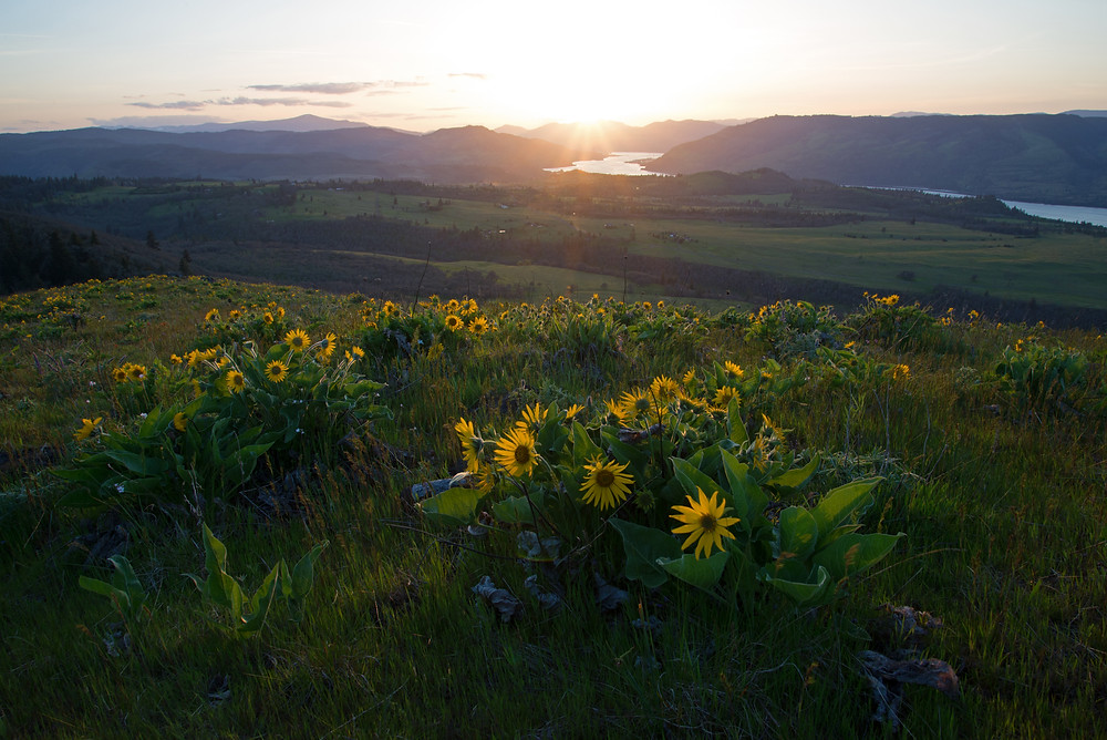 Balsamroot bloom at spring in Columbia River Gorge in Oregon.