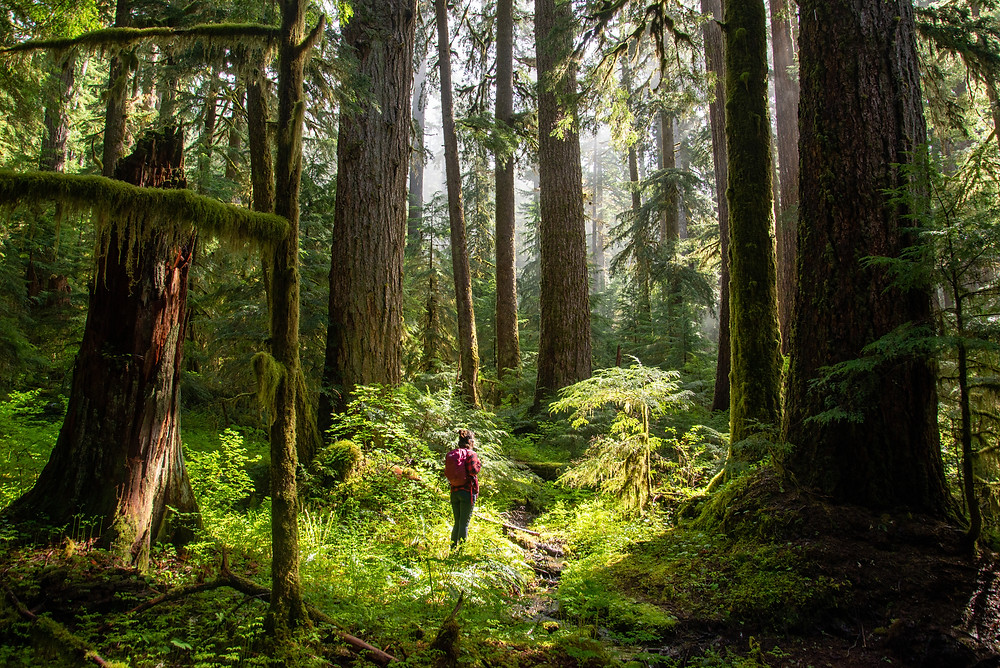 A hiker in an old growth forest in Olympic National Park in Washington.