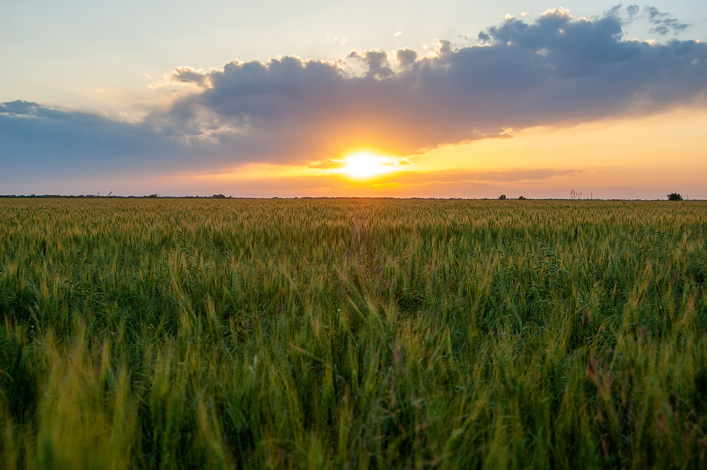 A wheat field at sunset in Kansas.