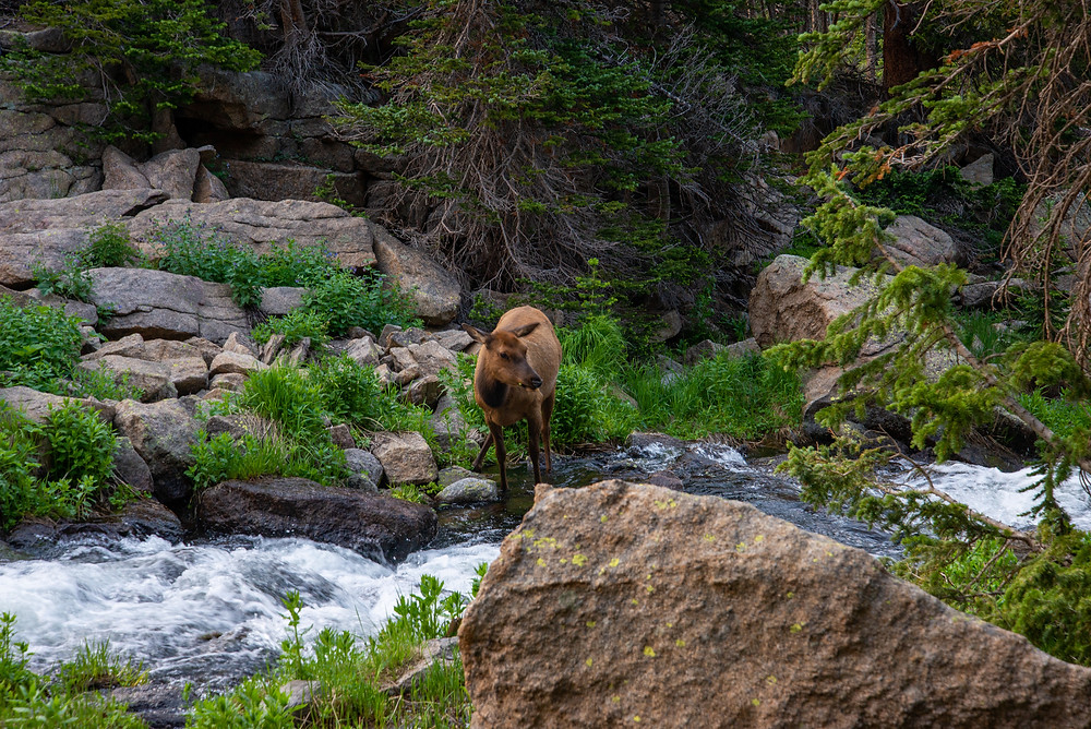 Elk in Rocky Mountain National Park in Colorado