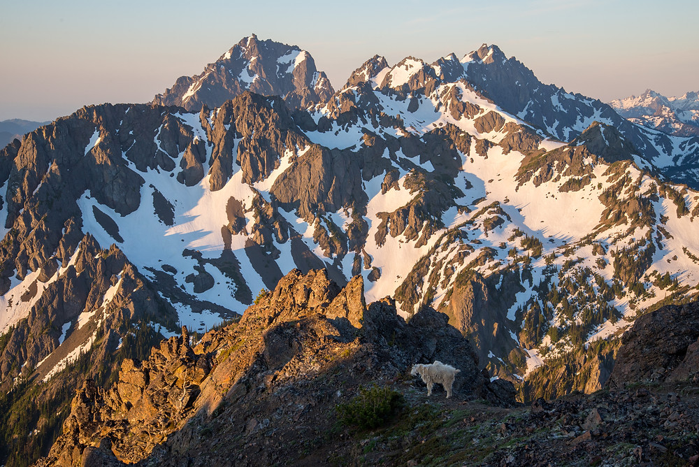 A mountain goat poses under mighty peaks in the Olympic Mountains in Washington.