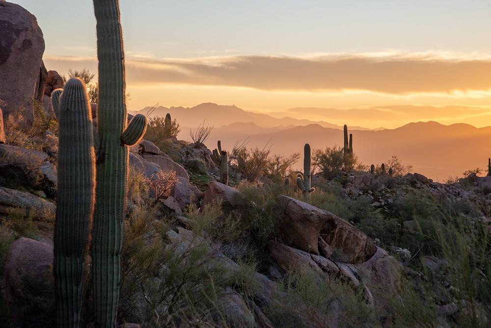 Saguaro cactus at sunset in Saguaro National Park in Arizona.