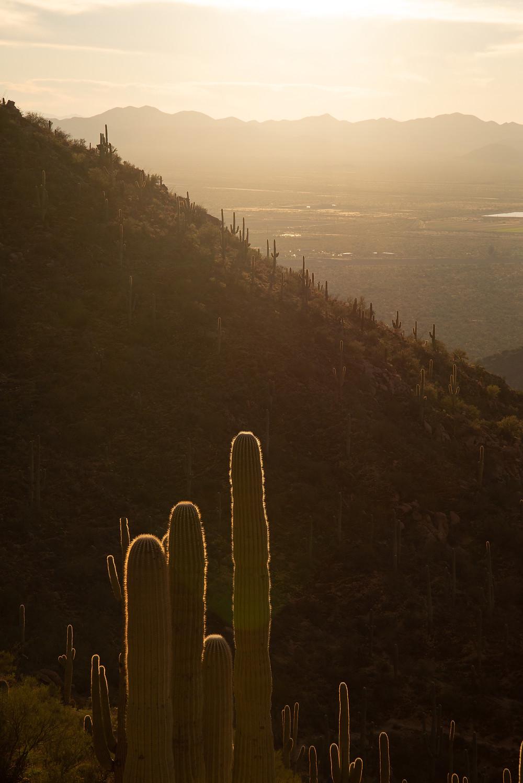 Saguaro cactus in Saguaro National Park in Arizona.