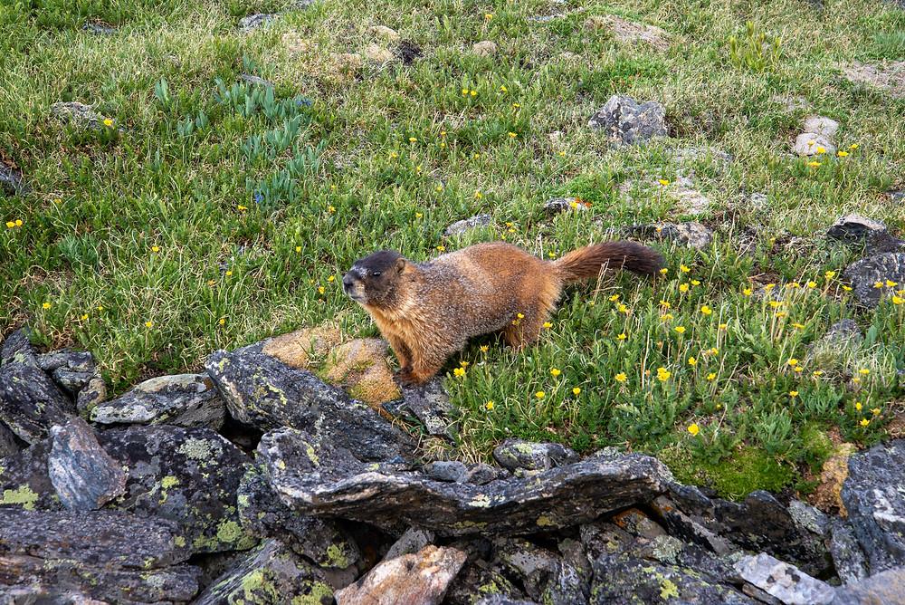Marmot in Rocky Mountain National Park in Colorado.