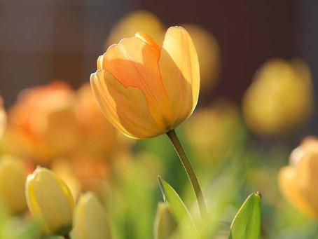 Tulipán holandés y rosas de Atlixco listas para mes del amor y amistad