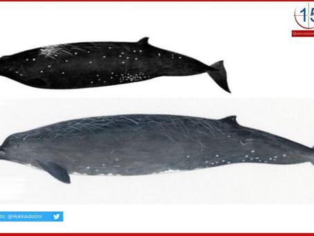 Confirman nueva especie de ballena en Japón