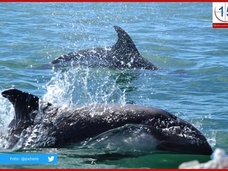 Japón reanuda la captura comercial de ballenas