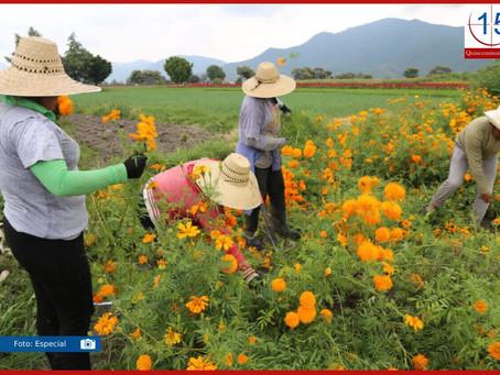 En riesgo, venta de flor de muerto en Atlixco