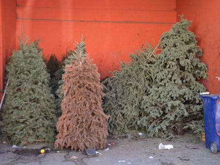 Inicia Ayuntamiento de San Pedro Cholula programa para reciclar árboles navideños